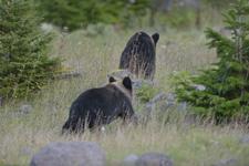 知床半島のヒグマの画像010