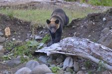 知床半島のヒグマの画像013