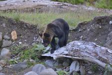 知床半島のヒグマの画像018