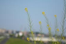 菜の花の画像001