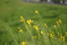 菜の花の画像002
