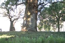 ご神木のクスノキの画像001