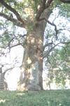 ご神木のクスノキの画像002