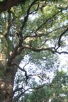 ご神木のクスノキの画像003