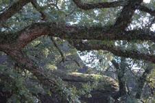 苔むすクスノキの画像001