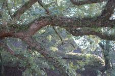 苔むすクスノキの画像002