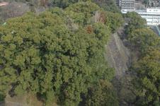 熊本城の石垣の木の画像001