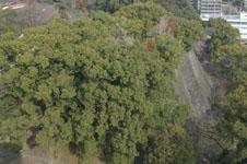 熊本城の石垣の木の画像002