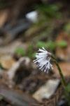 早明浦の花の画像001