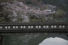 早明浦の桜の画像001
