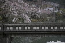 早明浦の桜の画像002