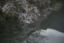 早明浦の桜の画像003