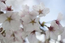 早明浦の桜の画像006