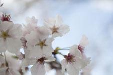 早明浦の桜の画像007