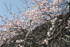 高知の梅の花の画像006