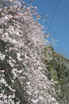 高知の梅の花の画像008