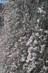 高知の梅の花の画像011
