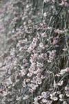 高知の梅の花の画像012