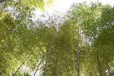佐川の竹林の画像002