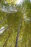 佐川の竹林の画像001