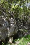 佐川の木の岩の画像006