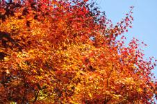 小豆島の紅葉の画像003