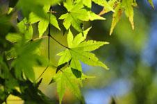 小豆島の葉