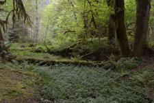 オリンピック国立公園の苔生す木の画像001