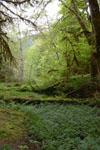 オリンピック国立公園の苔生す木の画像002