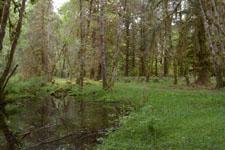 オリンピック国立公園の苔生す木の画像003