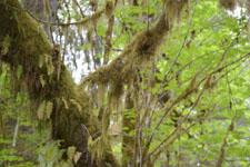 オリンピック国立公園の苔生す木の画像004