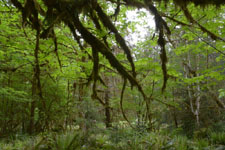 オリンピック国立公園の苔生す木の画像005