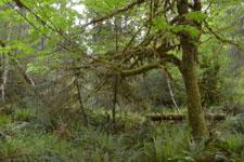 オリンピック国立公園の苔生す木の画像006