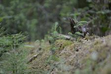 オリンピック国立公園の苔生す木の画像007