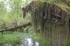オリンピック国立公園の苔生す木の画像008