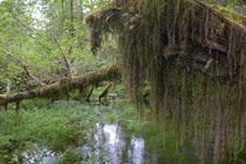 オリンピック国立公園の苔生す木の画像009