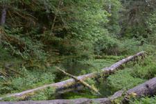 オリンピック国立公園の苔生す木の画像010