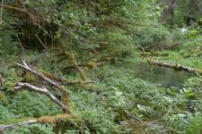 オリンピック国立公園の苔生す木の画像011