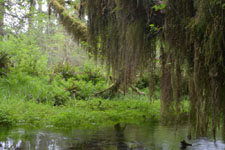 オリンピック国立公園の苔生す木の画像012