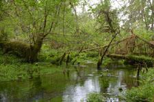 オリンピック国立公園の苔生す木の画像014