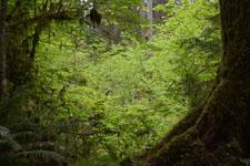 オリンピック国立公園の苔生す木の画像015