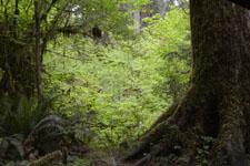 オリンピック国立公園の苔生す木の画像016