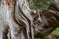オリンピック国立公園の苔生す木の画像018