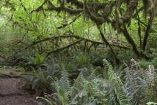 オリンピック国立公園の苔生す木の画像020