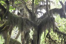 オリンピック国立公園の苔生す木の画像021