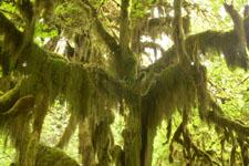 オリンピック国立公園の苔生す木の画像022