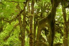 オリンピック国立公園の苔生す木の画像023