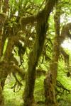 オリンピック国立公園の苔生す木の画像024