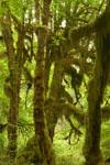 オリンピック国立公園の苔生す木の画像025