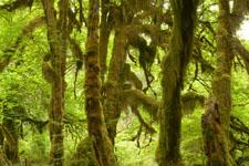 オリンピック国立公園の苔生す木の画像026